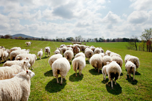 Craig Rogers with his sheep and lambs at his farm, Border Springs Farm, in Patrick Springs VA..Photos by Peter Taylor